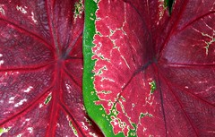 colorful leaves (natural color) #2 (@ulli0703) Tags: red macro green rot germany colorful grn botanicgarden braunschweig colorsinourworld