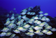 Convict Surgeonfish. These guys are awesome, they graze over the reef in big schools and eat anything that might be smothering the coral.