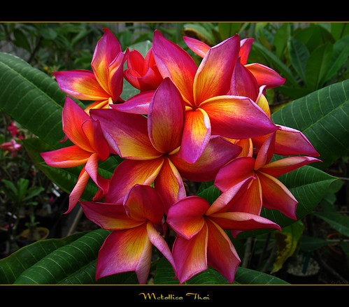 Rare Flowers - The Plumeria Metallica Thai by mad plumerian.