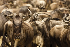 Wildebeests. The most impressive migration. (Maurizio Contini) Tags: africa animals tanzania kenya african lion meal lions migration thousand wildebeest maurizio phenomenon contini wildebeests inhabitants