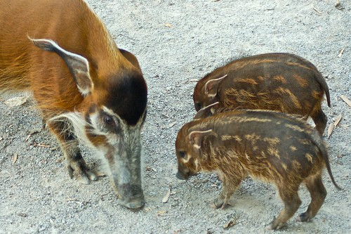 Red River Hog and babies