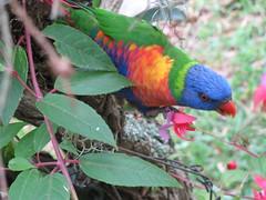 rainbow lorikeet (cskk) Tags: bird rainbow sydney australian lorikeet parrot australia rainbowlorikeet trichoglossus haematodus wildlifeofaustralia colourlicious trichoglosseshaematodus