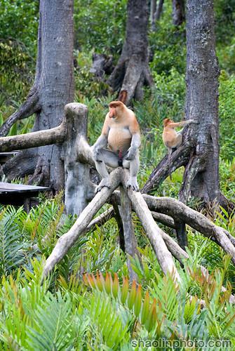 Proboscis King