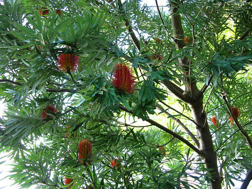 Banksia 3