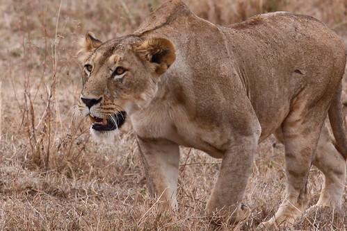 Lioness II