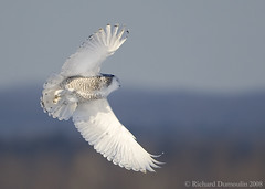 Snowy owl in flight (RichardDumoulin) Tags: winter snow bird nature canon action snowy wildlife flight richard owl snowyowl dumoulin mywinners 500f4 1dmkiii vosplusbellesphotos