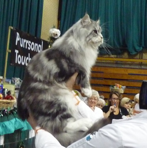 Maidstone and medway main coon