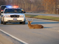 Do you know why? (gato_mato) Tags: state large police indiana deer roanoke buck whitetail us24