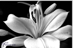 lily  ( BLACK AND White ) ( Katie ann. Off more than on.) Tags: bestofthebest platinumphoto platinumphotography betterthangood throughyoureyes monkeyawards alittlebeauty