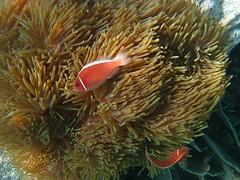 Pink Anenome Fish 2