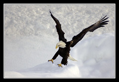 Swooping In (JSB_Photography) Tags: snow bird alaska d50 nikon eagle wildlife baldeagle beak feathers bald sigma raptor eagleriver birdofprey talons 70210mm jsbphotography distinguishedraptors