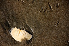 Sand Dollar & Bird Footprints -- Ocean Beach, San Francisco, CA