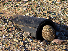 Burrowing Owl, Athene cunicularia (now there are 4 - 2 teenagers) (Laveen Photography (aka cyclis451)) Tags: school arizona home az raptor owl burrowingowl subdivision cyclist451