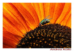 fly (Andrea Kollo Photography) Tags: flowers flower color nature colors gardens garden fly flora calendar sunflower postcards calendars stockphotography artphotography ruralontario colorfulflowers naturephoto flowerphotography colourfulflower andreakollo springhillphotography