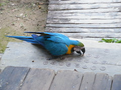 Macaw and Bottle Tops