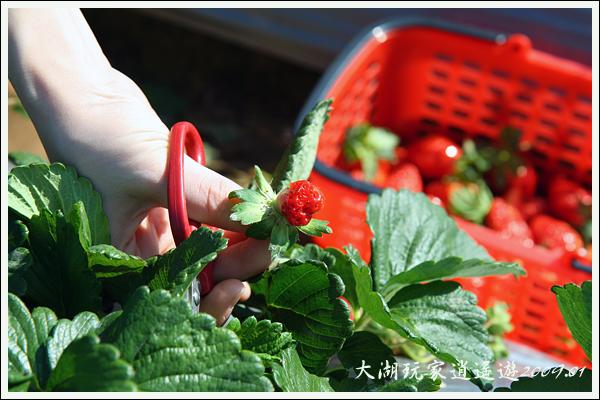 090117_07_採草莓