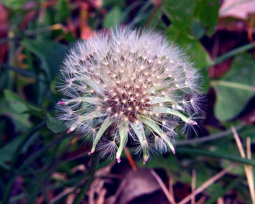 Winter Dandelion