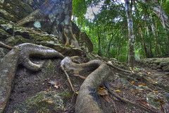 Tree-roots at Calakmul hdr (Dylan.Edwards38.) Tags: treeroots calakmul mexicotour2009 tryingouthdr