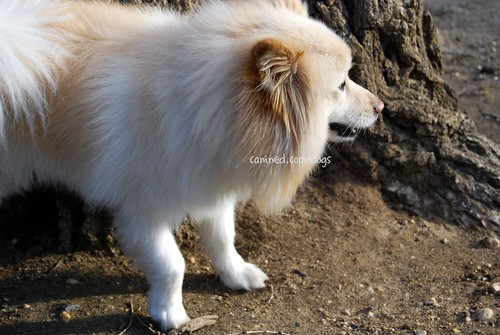 American Eskimo Dog For Sale Philippines
