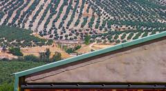 olive groves (Richard.Shipp) Tags: spain jaen baeza haciendalalaguna