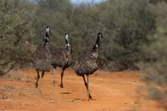 Emu Dancers (petefeats) Tags: nature birds australia running queensland emu australianbirds dromaiusnovaehollandiae ontrack casuariiformes bowra casuariidae