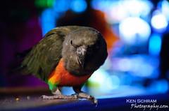 Ndugu (Ken Schram) Tags: lighting blue shadow orange white black green birds backlight purple bokeh parrots sidelight ndugu africanredbellied