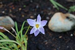 Spring Star Flower