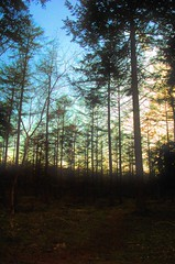 The trees, the trees (smiling_da_vinci) Tags: trees sunlight scary forrest eerie haunted creepy pinetrees drenthe diffuse tempting addictive the irresistable netherlands echten