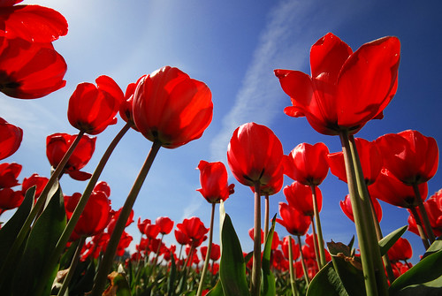 Windows 7 Themes and Wallpapers: Red Tulips Wallpaper Win 7