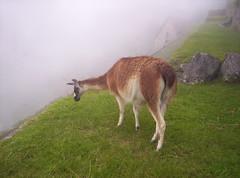 Lama di Machu Picchu (Grabby Walls) Tags: city peru machu picchu inca cuzco america lost cusco south llama valle per sacra valley sacred lama viaggi viaggio llamas sud incas citt sagrado viaggiare qosqo perduta abigfave grabbywalls