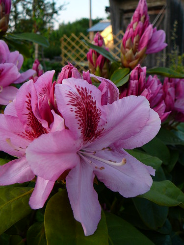 Rhododendron 2008 (04)