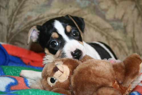 Long Haired Rat Terrier Pictures. the young rat terrier