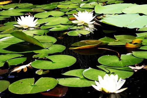 Three lilies.