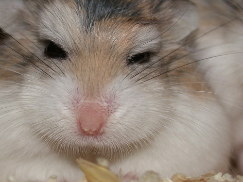 What are you looking at?! by roborovski hamsters.