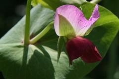 capucijner pea flower