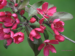 Red Apple Blossoms (clickclique) Tags: red green apple dof blossoms lawn mybestphotos canons3is impressedbeauty impressedbyyourbeauty diamondclassphotographer flickrdiamond