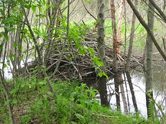 Beaver Lodge (robinslomkowski) Tags: june lodge beaver helens 2008 hummocks