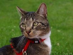 Hudson (Tabby Fan) Tags: 510fav hudson cc200 cc100 catmoments