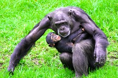 hold on kid.. (Sir Mervs) Tags: canon eos zoo monkey chimp sydney australia nsw ape newsouthwales outback chimpanzee pk aussie sir pinoy downunder taronga manalo mervin mervs canonef70200mmf4lusm 40d kodakero pinoykodakero pinoykodakeros kodakeros mervinmanalo sirmervs