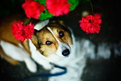 wreathed (moaan) Tags: leica dog flower 50mm corgi flora dof bokeh f10 m8 noctilux geranium welshcorgi 2008 pochiko thelittledoglaughed leicam8 leicanoctilux50mmf10 bokehwhores gettyimagesjapanq1 gettyimagesjapanq2