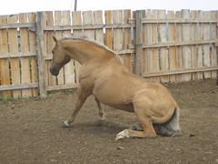 Goldie (ginfox) Tags: ranch horse standing dirt wyoming palominohorse