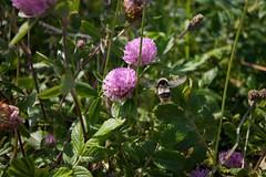 ムラサキツメクサとハチ