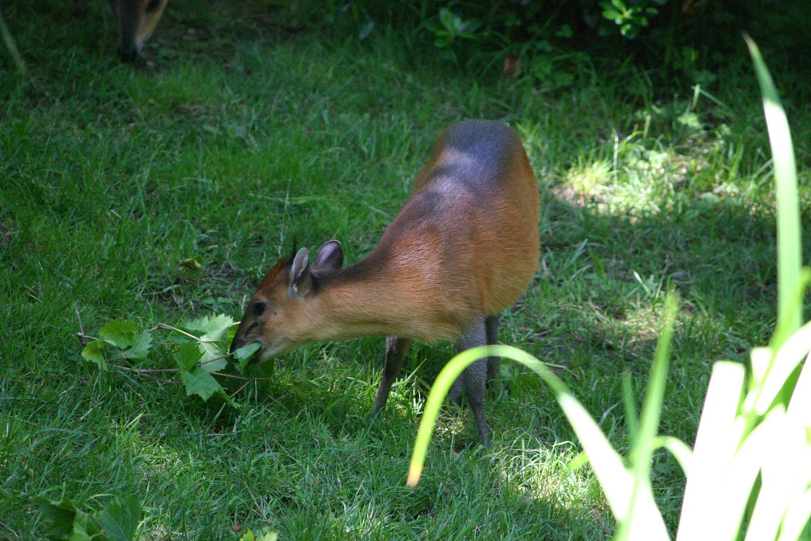 pictures of animal flanked duiker deer wiki