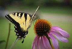 "Grace (Katherine Gruender ""Kat"") Tags: flowers flower yard wow butterfly bug d50 garden fly nikon friend flickr searchthebest blossom profile butterflies katherine grace bugs coneflower neighbor easterntigerswallowtail lightroom purpleconeflower neighborsyard kgphotography top20flowersandbugs colorphotoaward specinsect envyofflickr natureoutpost macromarvels goldstaraward naturespotofgold magicdonkeysbest spectacularmacro fourplusadragon nikond50camerafinder katherinegruender kathygruender"