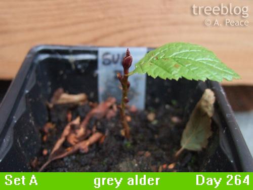 grey alder Number 3