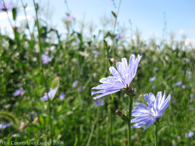 Cornflowers and Corn