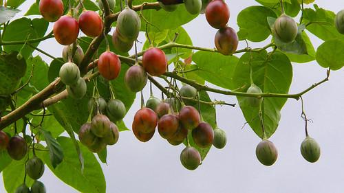 74.野生的樹蕃茄