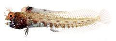 Acanthemblemaria aspera, Adult Male (Roughhead Blenny) (Smithsonian Institution) Tags: fish color skeleton spiky belize dotted whitebackground scales bones redeye aquatic creature fins specimen aspera smithsonianinstitution orangeeyes blenny adultmale roughheadblenny fishphoto nationalmuseumofnationalhistory