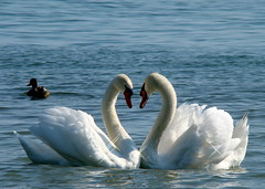 The Look Of Love (flipkeat) Tags: white bird beautiful birds closeup swan heart wildlife awesome feathers swans mallard lakeontario waterfowl birdwatching mute avian cygnusolor portcredit blueribbonwinner cygnetubercul abigfave avianexcellence flickrdiamond empyreananimals cisnevulgar goldstaraward thebestofday gnneniyisi natureselegantshots allkindsofbeauty 100commentgroup panoramafotogrfico doubledragonawards thewonderfulworldofbirds slbmatingbehaviour