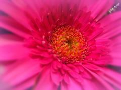 gerbera daisies ( babyelmo - on and off) Tags: pink plant flower color macro nature daisies canon psp soft gerbera lp daisy picnik matte canonixus inspiredbylove macrolicious larawangpinoy litratistakami thebestmacrophotos fucschia